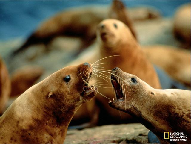 海狗和海豹的区别图片