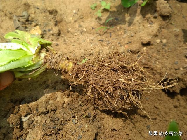 土壤不太适合种四季菜?可改善!多利用肥渣、腐叶土等,讲究轮作