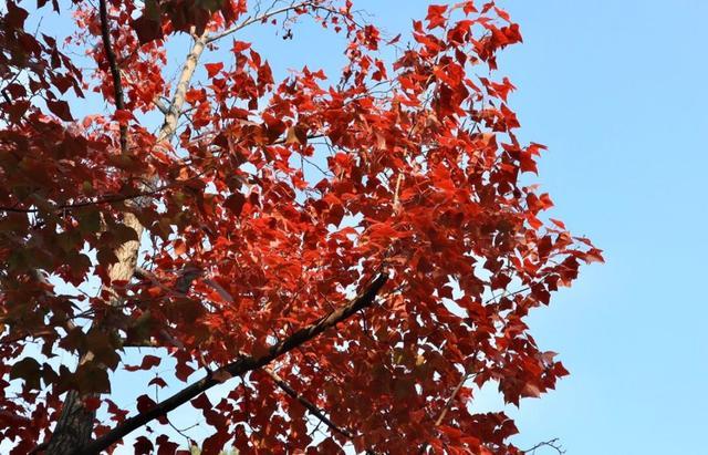 中国四大赏红叶胜地--苏州天平山