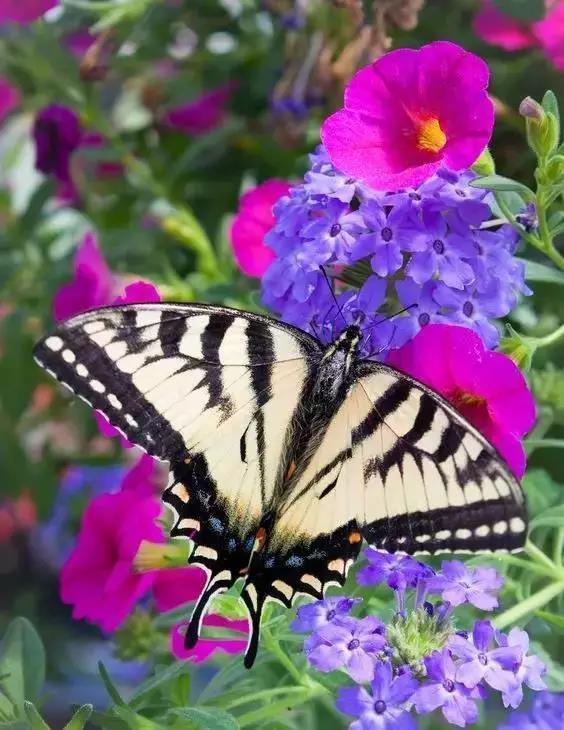 蝴蝶交配图  我和你缠缠绵绵翩翩飞