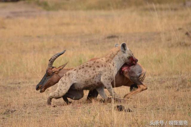 非洲二哥鬣狗居然被自己的掏肛技能弄死,让人大... _手机搜狐网