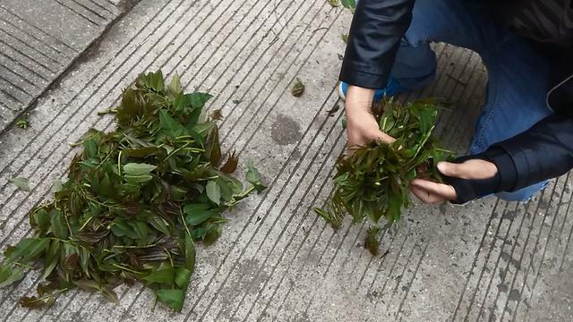 吃在怀化丨这种叫椿叶儿的极品口味儿的春季野菜,色香味都有了