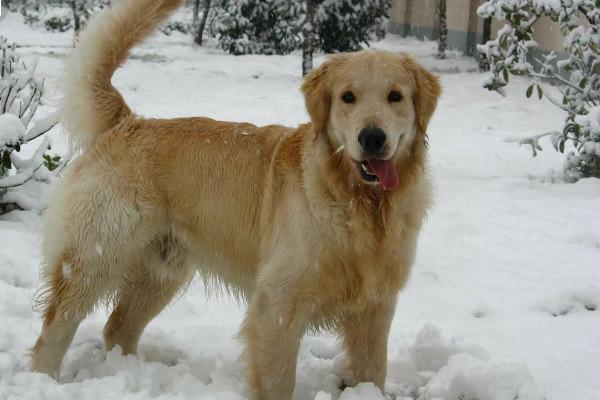 大型宠物犬排名银狐犬