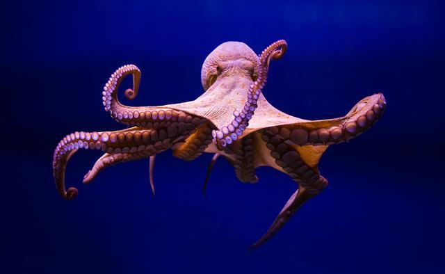 为什么科学家认为章鱼可能不是地球的生物?-第1张图片-IT新视野