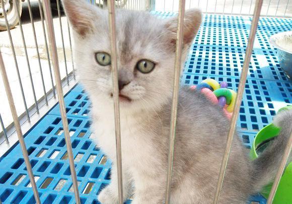 渐层猫是什么品种