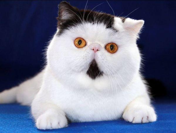 异国短毛猫 加拿大无毛猫 紫英猫舍 EXOTIC SPHYNX