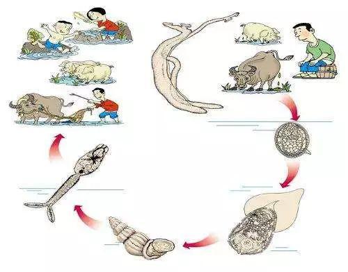 血吸虫钉螺图片