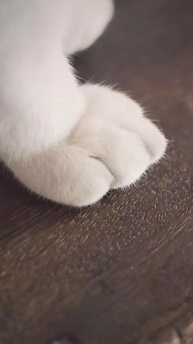 手機壁紙高清貓