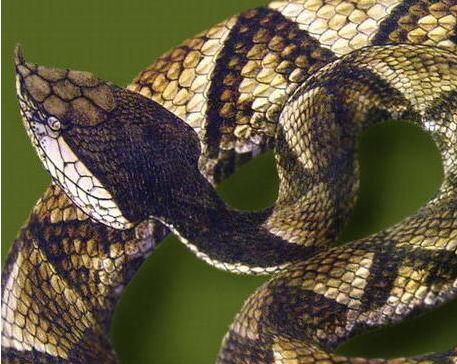 ash彩虹六号百步蛇