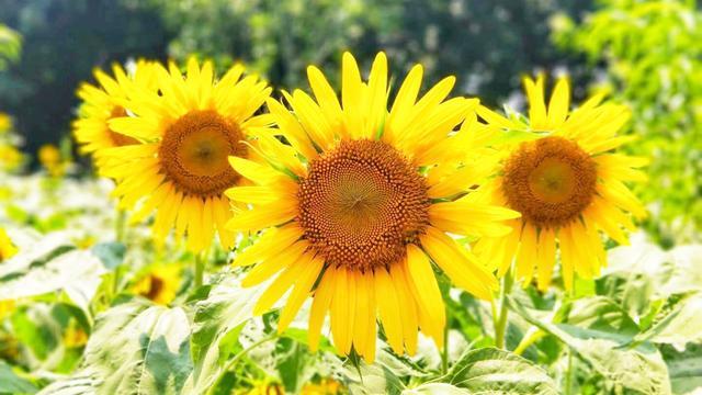 向日葵为什么向着太阳?