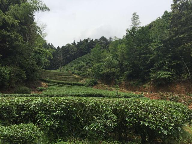 出产普洱茶的云南,为什么被称为世界茶树之根?