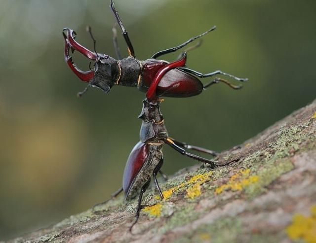 手把手带你玩转幼儿园创意亲子手工折纸DIY之鹿角虫