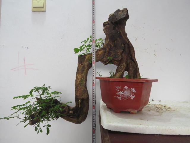 小叶紫檀高盆盆栽