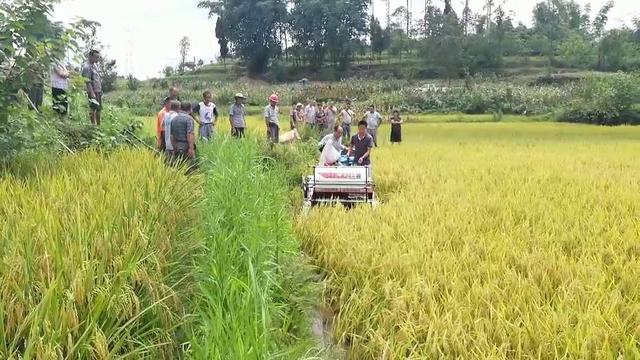 新型迷你水稻收割机,履带式收割机,有水有泥都不怕!