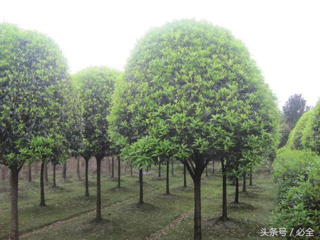 园林绿化苗木养护要点