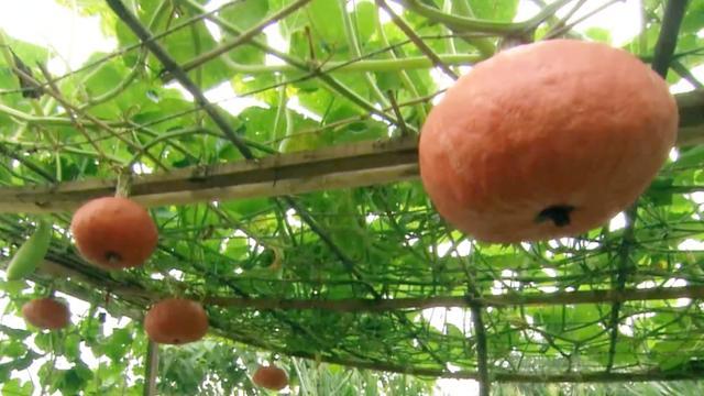 有机蔬菜的品种选择及种植技术