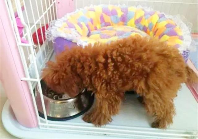 泰迪狗狗自制營養食譜