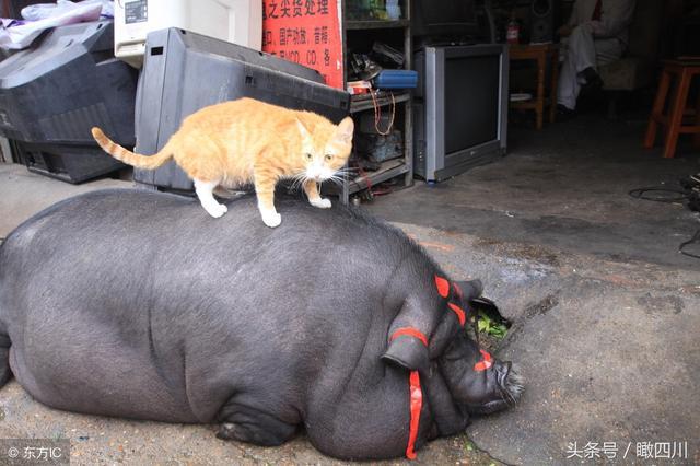 猪年,看看那个年代的肥猪图!_手机搜狐网