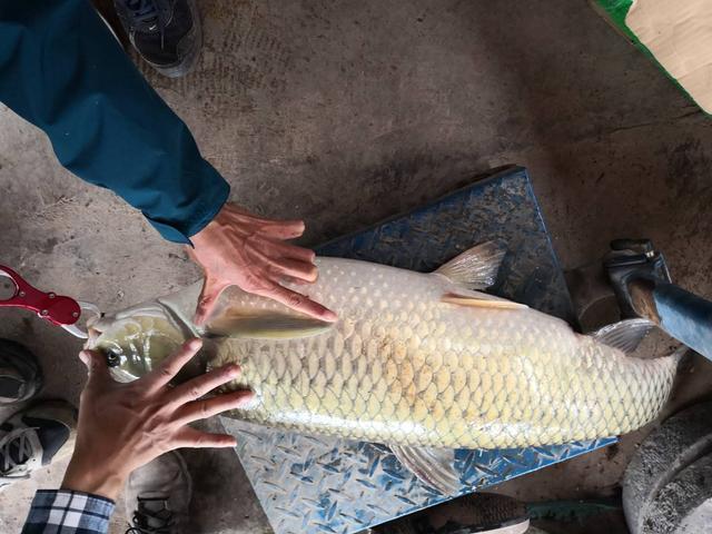 这么大的草鱼还是第一次见,钓友在大湖中钓到一条46斤的大草鱼!