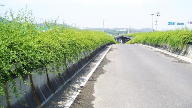 城市园林绿化应用越来越广,开花繁密,花大色艳,景观效果好!