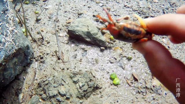 澳洲红螃蟹再次泛滥,不仅路面连卫生间、墙壁也被攻占了!