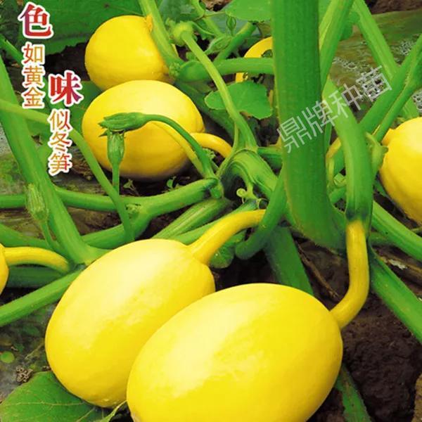 专吃嫩南瓜的新品种,湖北李大爷几亩地赚了10多万元