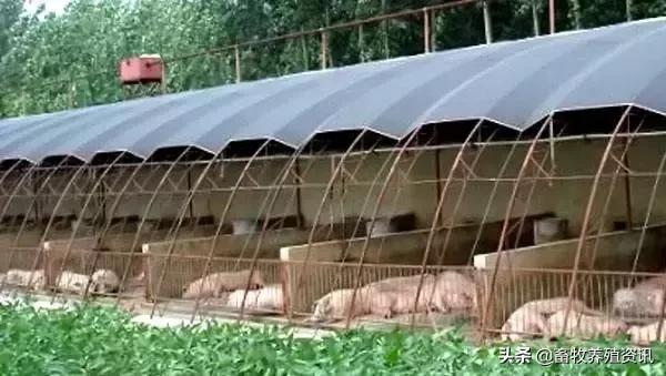 大棚养猪代替传统猪舍?成本如何估算 快看养猪大棚的建设方法吧