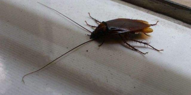 怎么消灭家里的蟑螂?-第3张图片-IT新视野