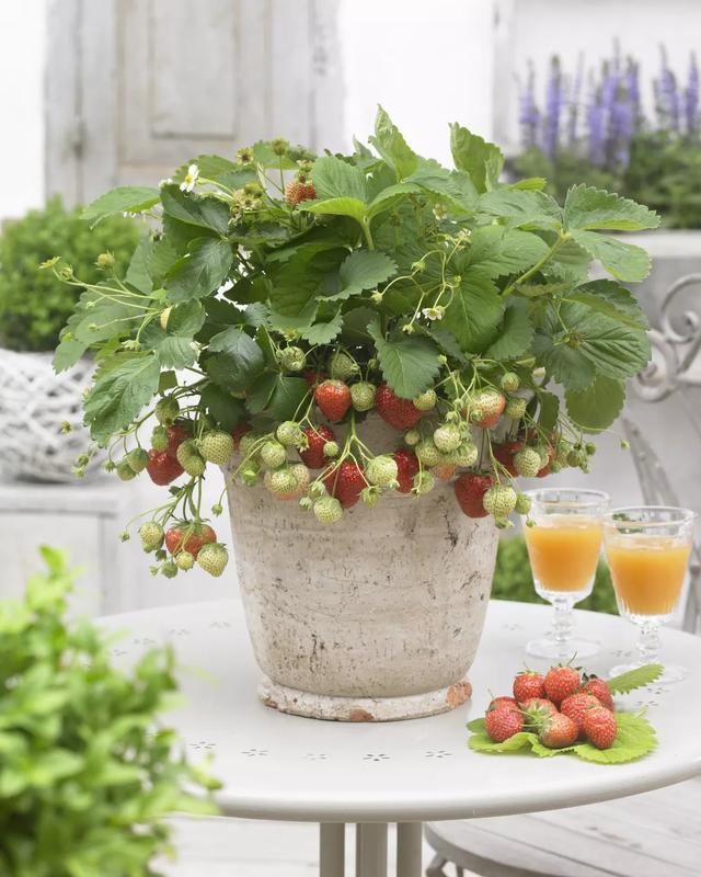 """手把手教你草莓种植,闭着眼睛也能种出""""香甜草莓"""",懒人必备"""