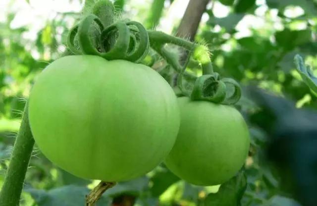 番茄都是红了采收吗?错了!如何掌握番茄的采收标准