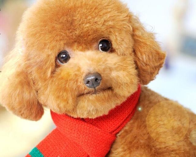 泰迪毛发容易打结?可以这样做,毛发顺滑有光泽,发色光亮还干净