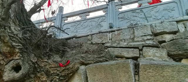 皖北宿州一奇观:树驮桥,桥驮树,相依相伴300年