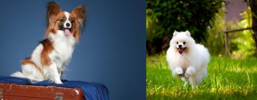蝴蝶犬与博美犬,一样是玩具犬,为什么养前者的人数却很少?