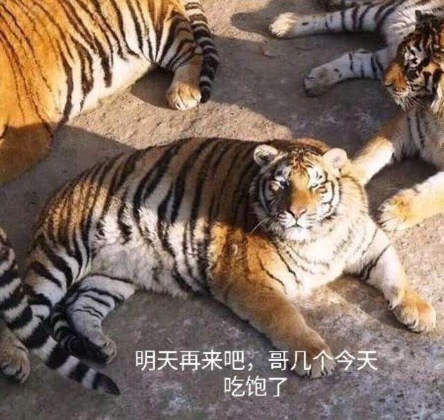 遇到老虎滑铲很可笑?历史上打虎最多的老人,独自消灭138只猛虎