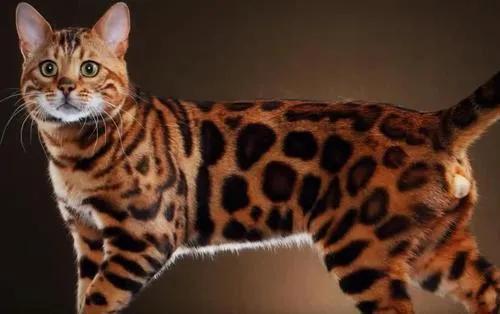 豹猫 - 中文百科