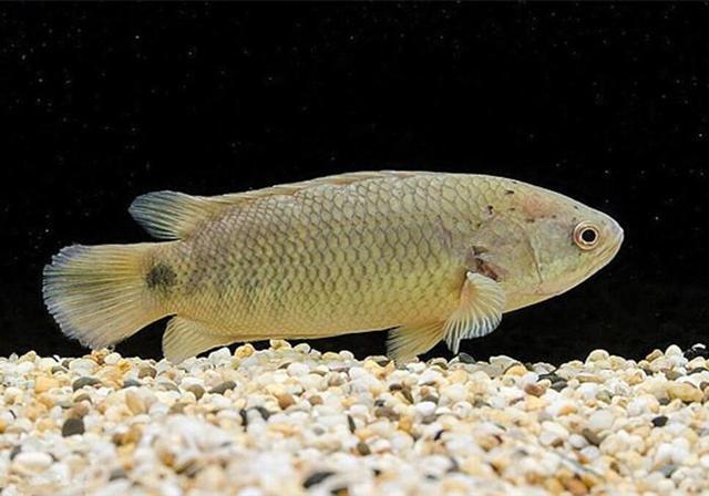 南方有一种鱼,离开水后不仅可以正常呼吸,还能在地面行走