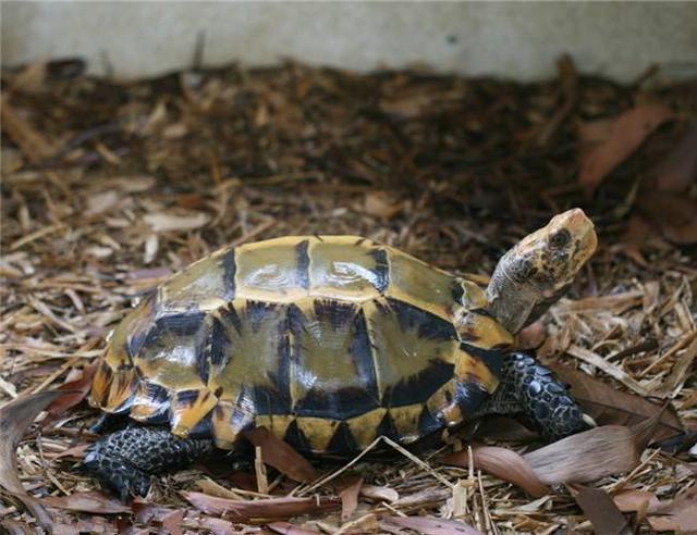 凹甲陆龟知识科普,这些你可能不知道!_网易新闻