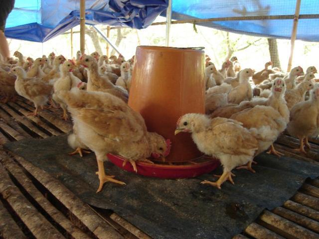 广西三黄鸡养殖