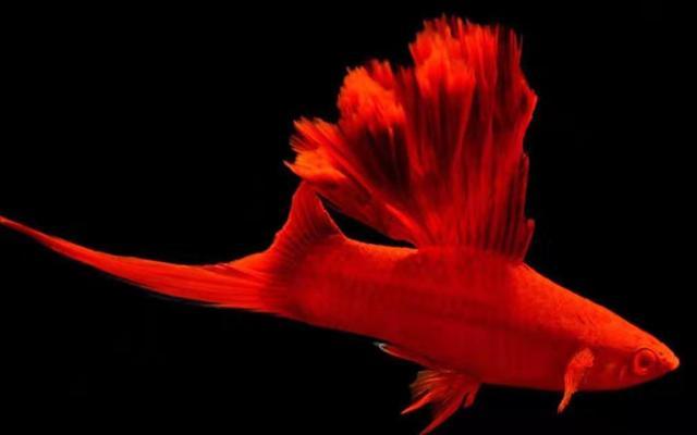 红剑鱼 高鳍红箭鱼观赏鱼孔雀鱼淡水鱼 菊花帆红箭鱼热... -京东