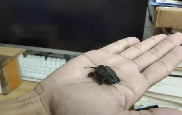 养龟新手适合养什么样的乌龟?这两种乌龟最便宜,而且容易养活