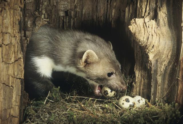 珍惜保护野生动物——黄鼠狼