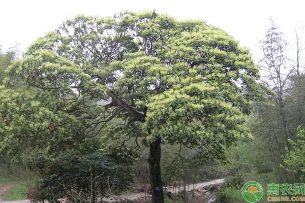 木棉树皮有什么药用功效,木棉树图片 - 花卉种植 - 黔农网