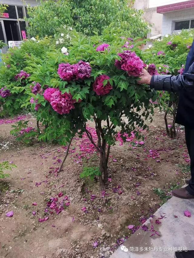 牡丹花怎样种植和修剪?