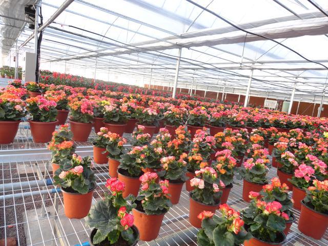 超级双层薄膜连栋温室大棚,如何助力花卉产业发展