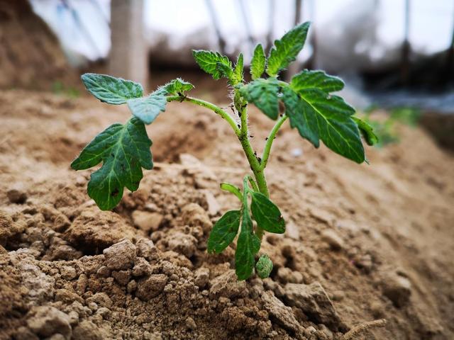 西红柿种植技术-百科