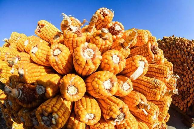 四个月玉米涨幅接近30% 进口强劲中粮成乌克兰第二大粮食出口商