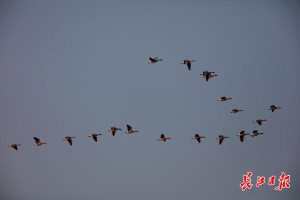 大雁在飞翔