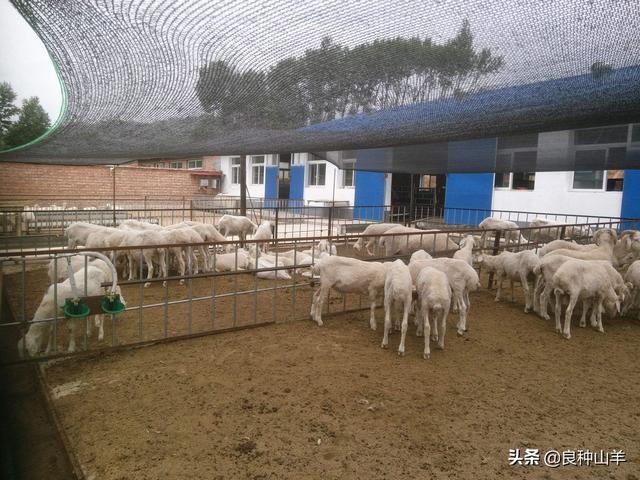 为什么养殖湖羊越来越多,是由湖羊十大特性决定的