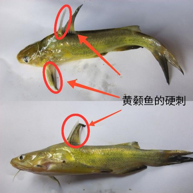 【特种水产】黄颡鱼怎么养?从繁育到养殖,饲育管理是关键