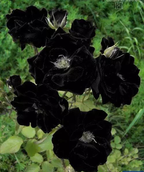 美人菊品种大全图